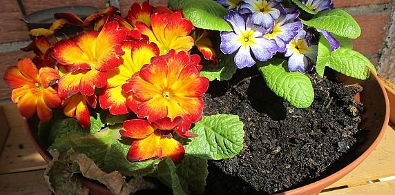 GROLLINO Ophelia I giardino di marzo