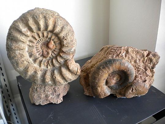 Museo fedrigo_ Ammonite_coppia