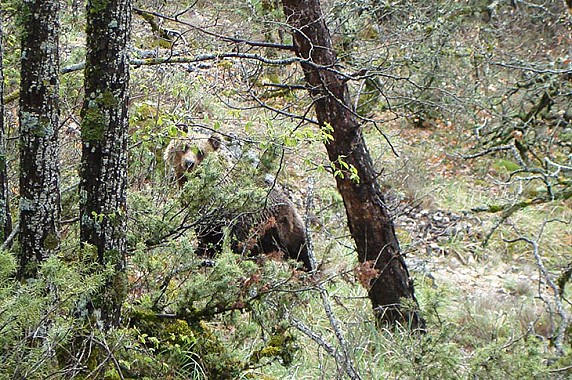 Collelongo-orso